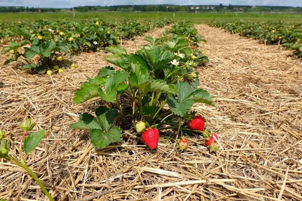 fraises-bio