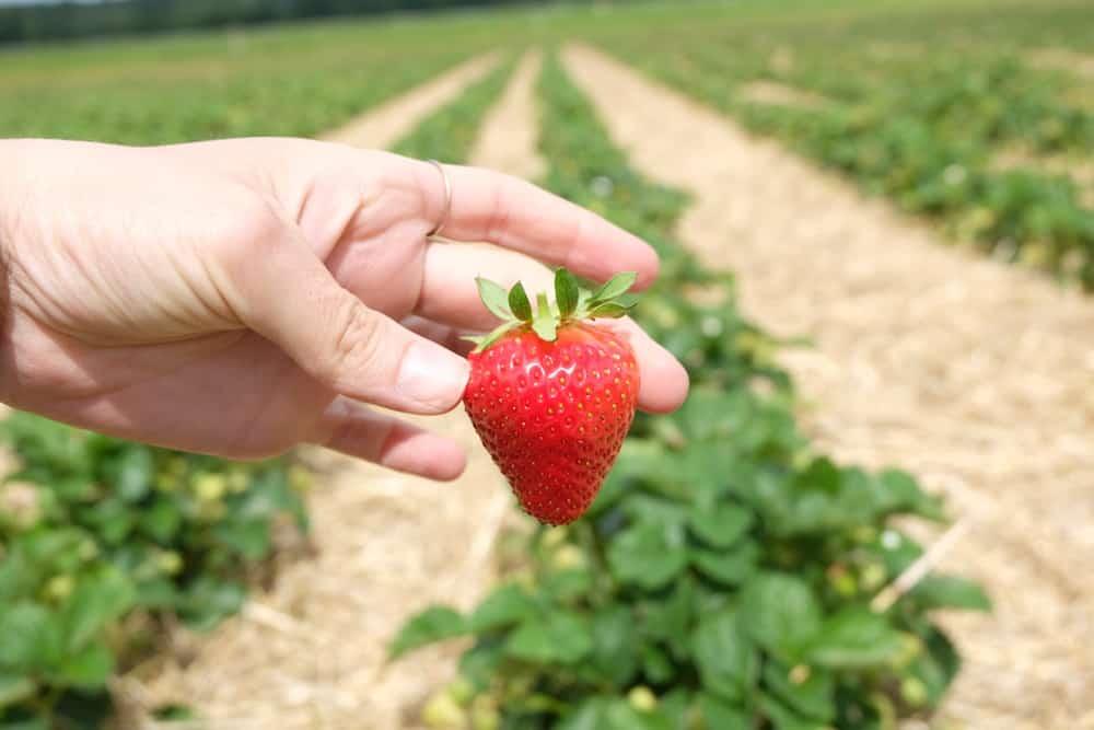 fraises-biologiques