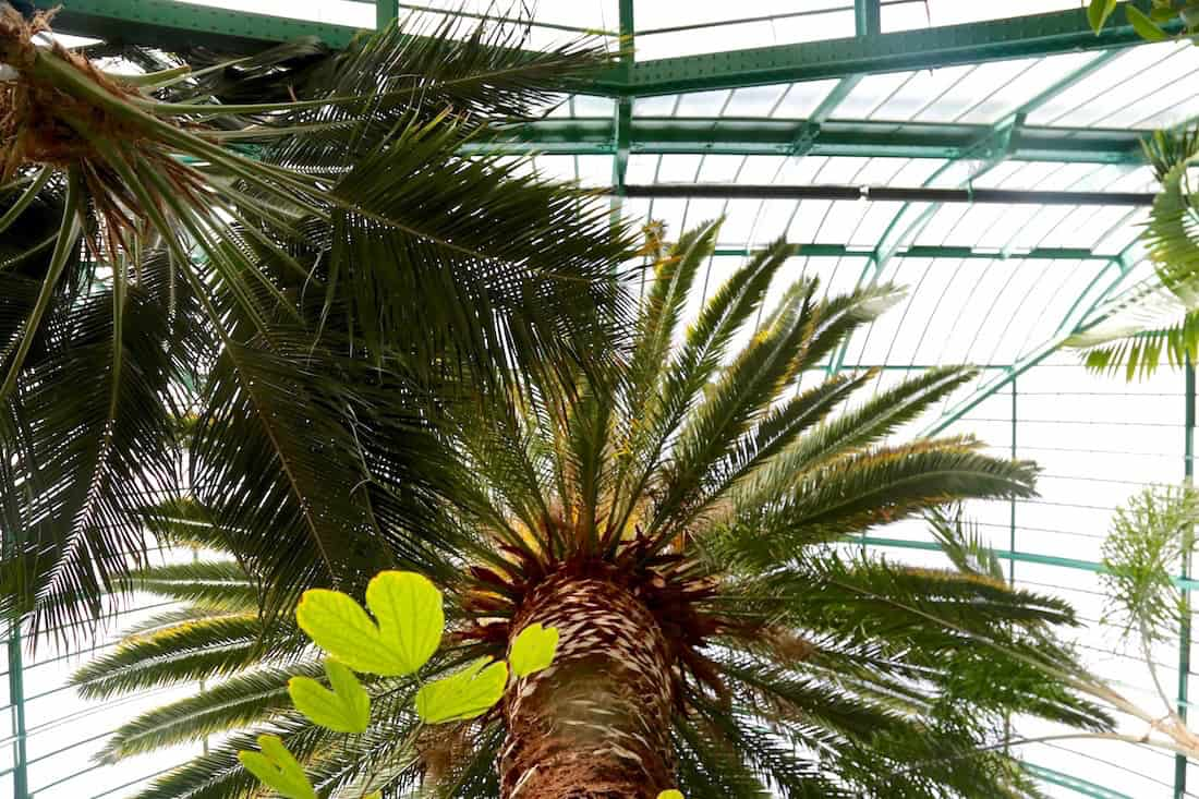 serres-auteuil-palmier