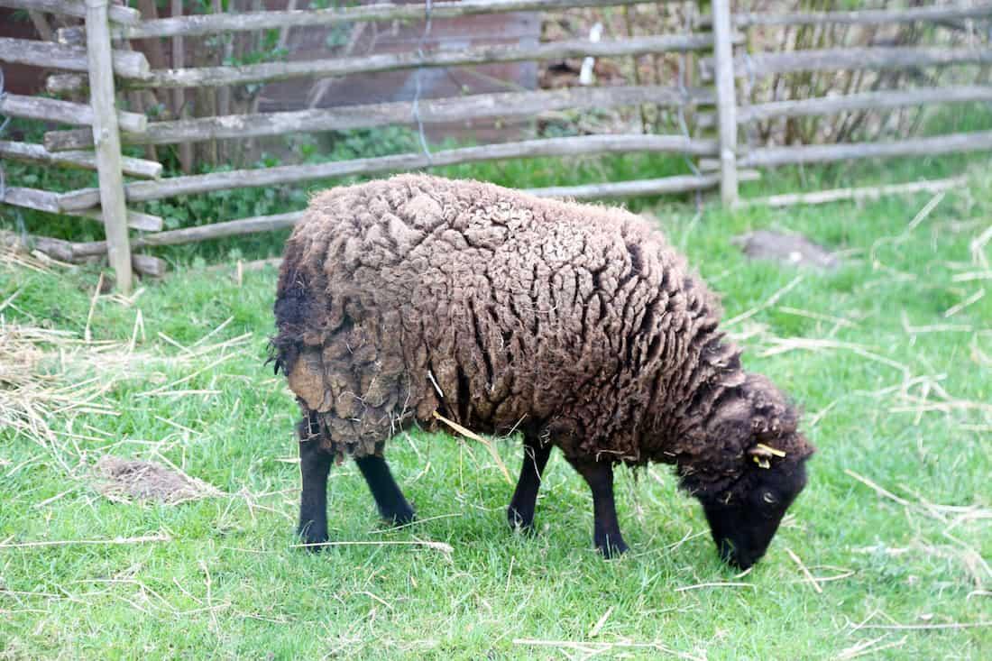 ferme-de-paris-75012-vincennes-mouton