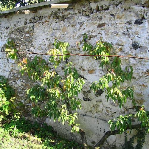 murs-a-peches-montreuil