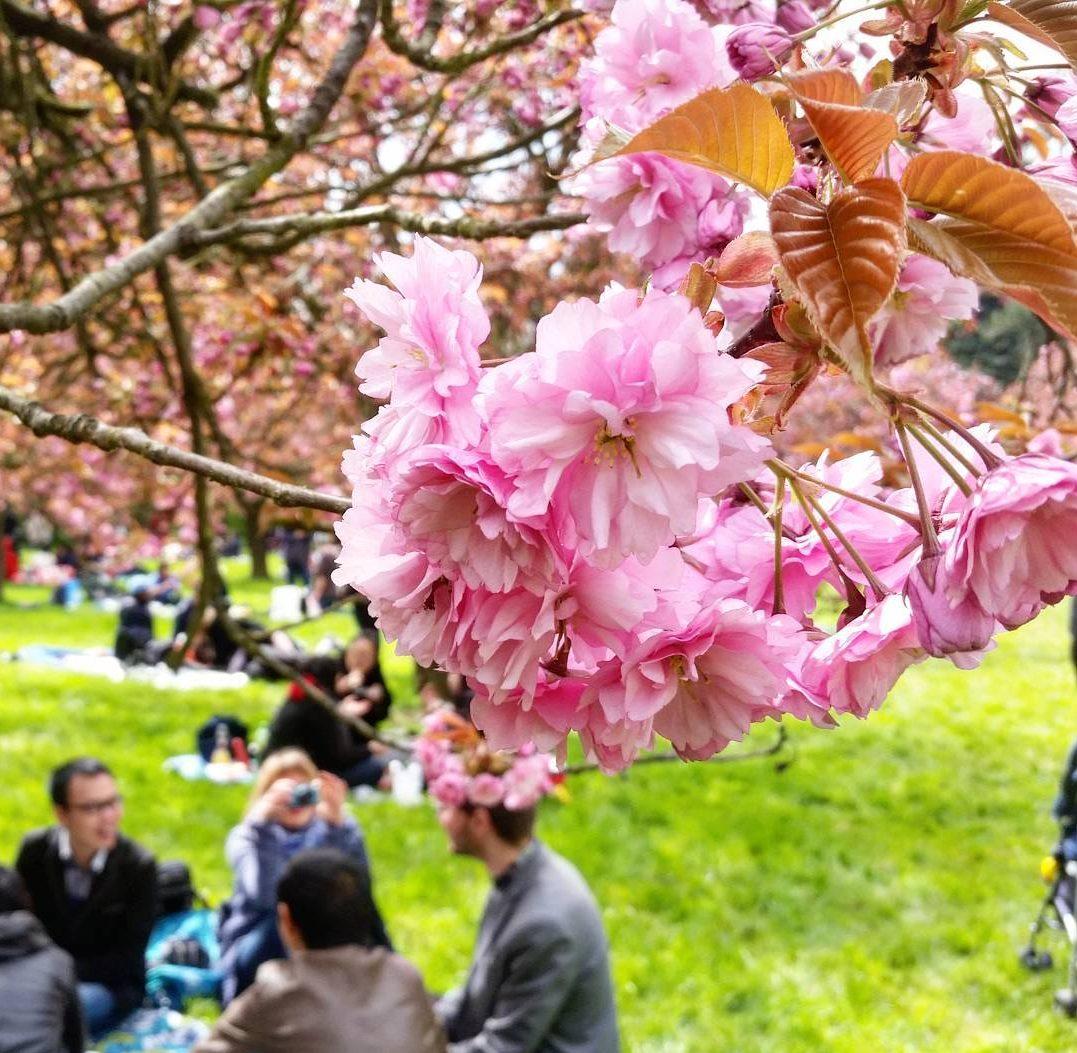 parc-de-sceaux-hanami-sakura