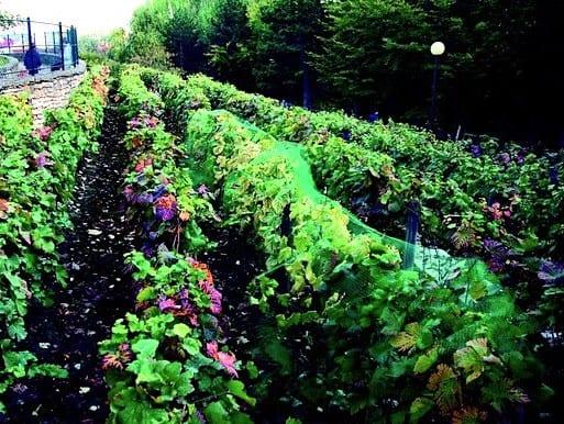 vigne-georges-brassens